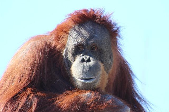 Orangutan, Ape, Nature, Orang Utan, Primate, Monkey