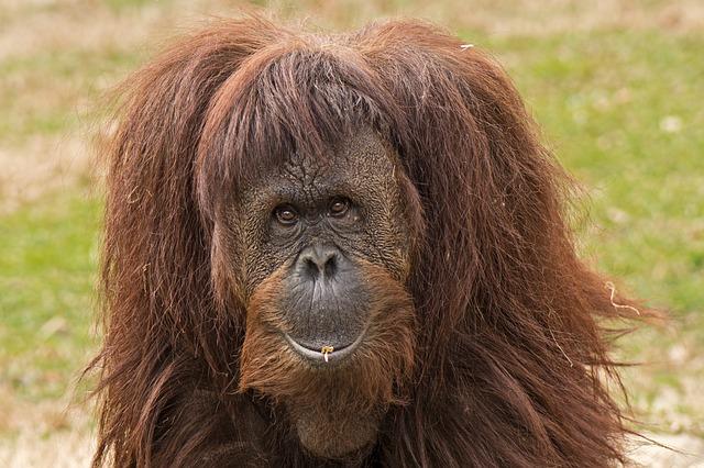 Primate, Ape, Orangutan, Expression, Zoo, Looking, Eyes