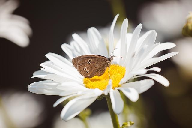 Butterfly, Chimney Sweep, Aphantopus Hyperantus