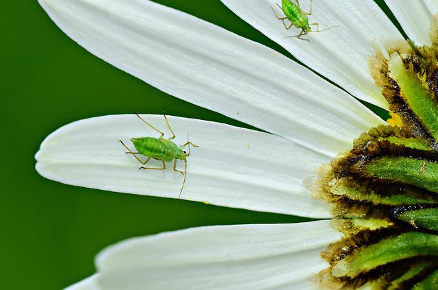 Aphid, Insect, Sap Sucking, Petal, Flower, Daisy