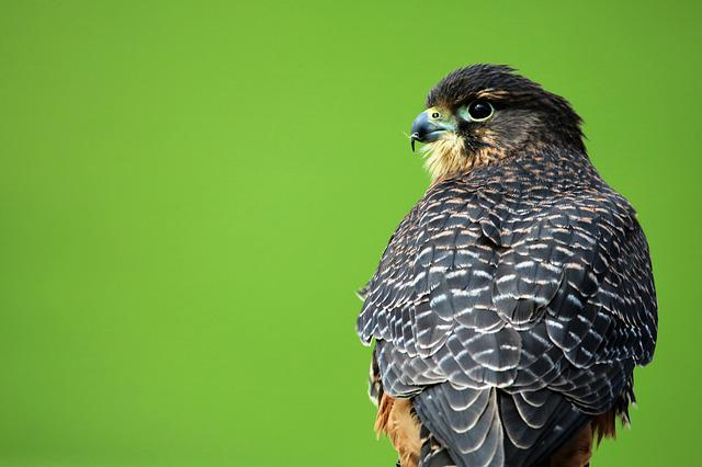 Aplomado Falcon, Bird Of Prey, Hawk, Bird, Beak, Falcon