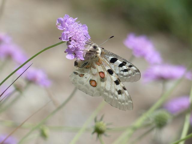 Apollo, Butterfly, Apollofalter, Parnassius Apollo
