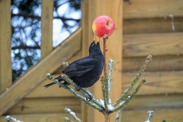 Bird, Blackbird, Fir, Apple, Songbird, Black, Eat