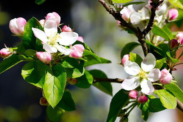 Apple Blossom, Flowers, Apple Tree Flowers, Apple, Bud