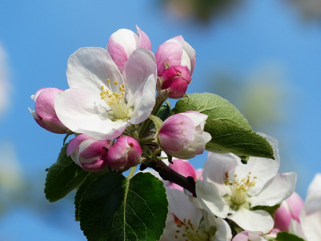 Apple Blossom, Blossom, Bloom, White, Pink, Malus