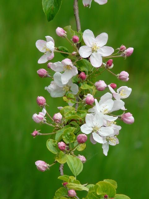 Apple Blossoms, Apple Blossom Branch, Bud, Blossom