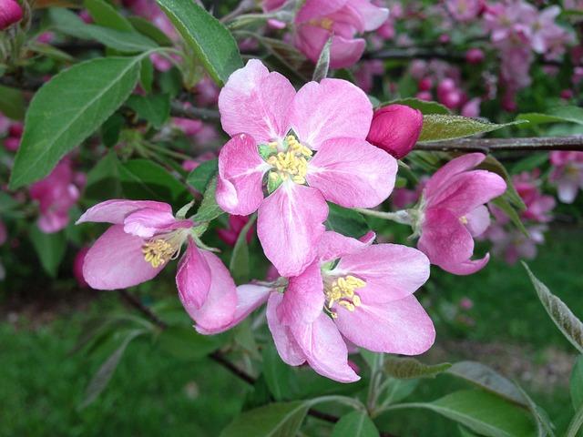 Apple, Blossoms, Apple Blossom, Tree, Branch, Spring