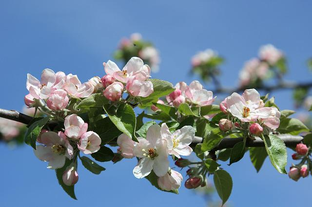 Apple Blossoms, Branch, Flower, Plant, Nature, Bright