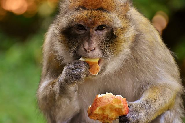 Barbary Ape, Eat, Apple, Endangered Species