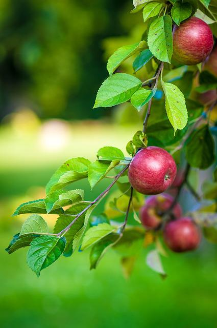 Apple, Tree, Fruit, Food, Branch With Apples, Apples
