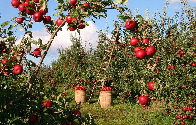 Apple, Tree, Orchard, Red, Green, Ladder, Harvest