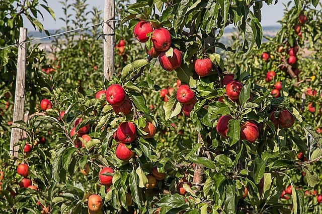 Apple, Apple Tree, Fruit, Apple Orchard, Orchard