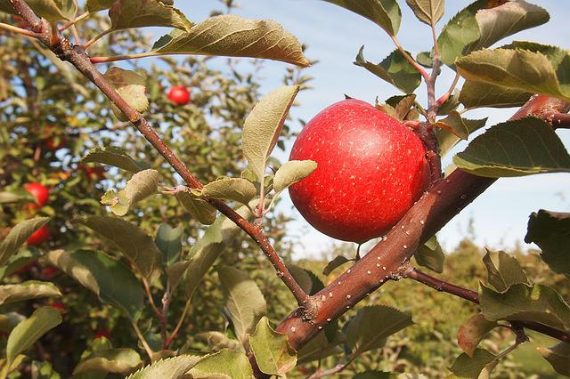 Apple, Orchard, Vermont Food, Red, Tree