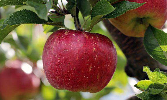 Apple, Red, Red Apple, Apple Orchard, Delicious, Fruit