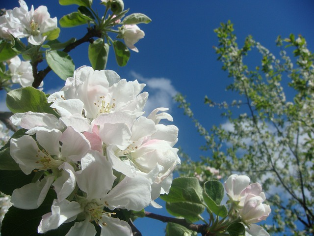 Apple, Bloom, Apple Blossoms, Spring, Apple Flower