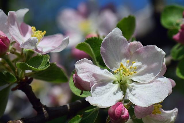 Apple, Apple Tree, Blossom, Bloom, Apple Blossom