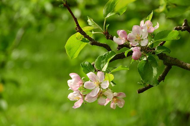Apple-blossom, Apple Tree, Blooming Apple Tree