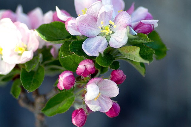 Apple Blossom, Apple Tree, Apple Tree Flowers, Blossom