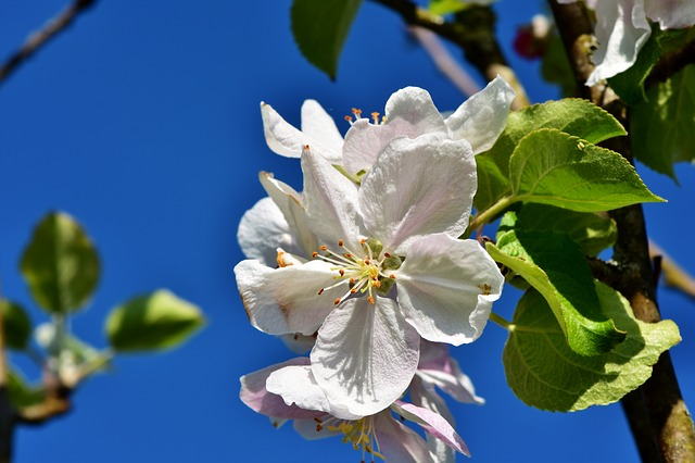 Apple Blossom, Blossom, Bloom, Apple Tree Flowers