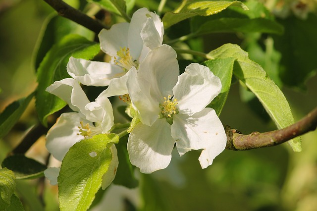 Apple Blossom, Apple Tree, Fruit Tree