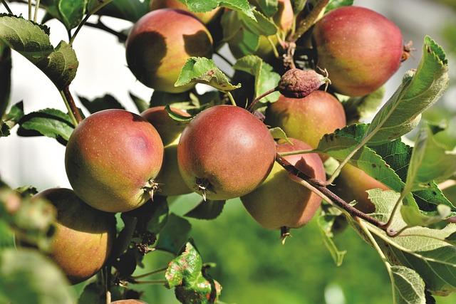 Apple Tree, Apple, Kernobstgewaechs, Fruit, Fruit Tree