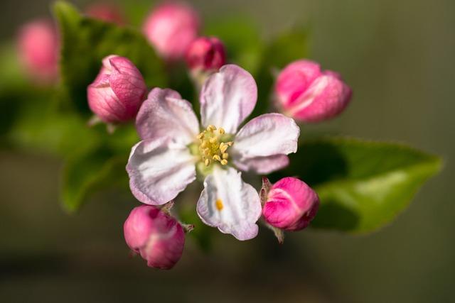 Pistil, Apple Blossom, Apple Tree, Blossom, Bloom