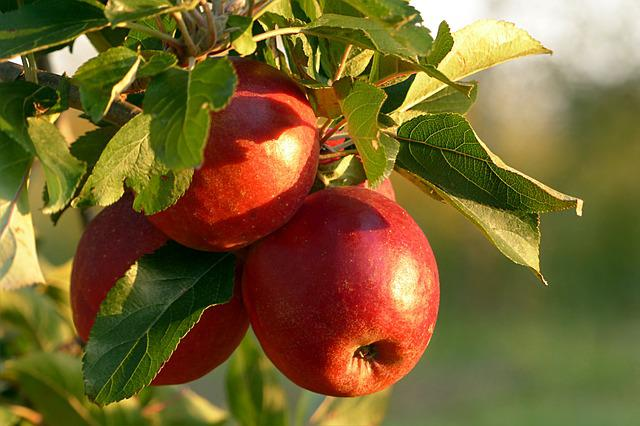 Fruit, Apple, Malum, Red, Healthy, Apple Tree