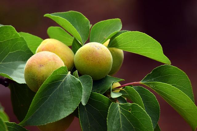 Apricot, Immature, Fruit, Sweet, Delicious, Eat