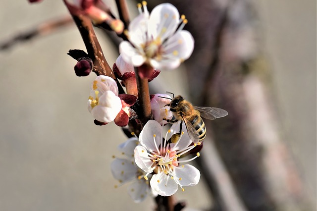 Apricot, Blossom, Bloom, Bloom, Flower, Plant, Nature