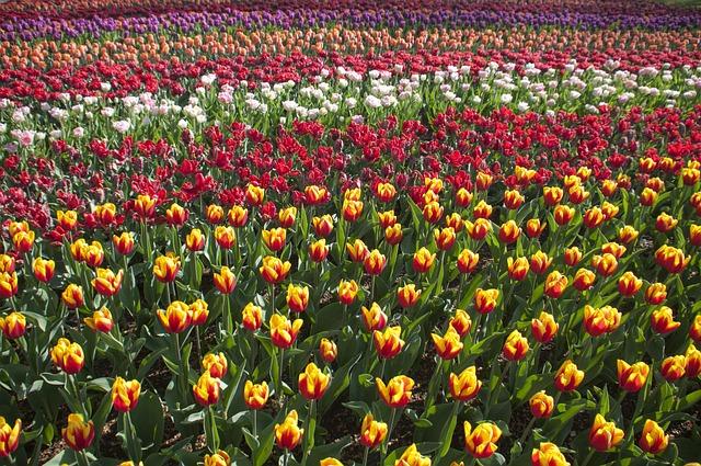 Tulips, Spring, April, Plant, Blossom, Color, Flora