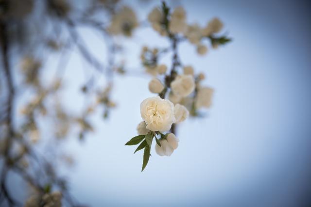 Spring Flowers, Cherry Blossom, Flowers, April, Nature