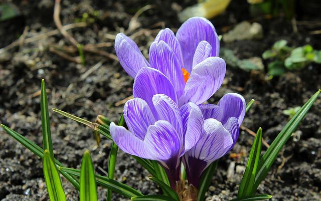 Crocus, Spring Flowers, Spring, April, Nature, Flower