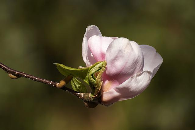 Magnolia, Bud, Unfold, Pink, White, Spring, April