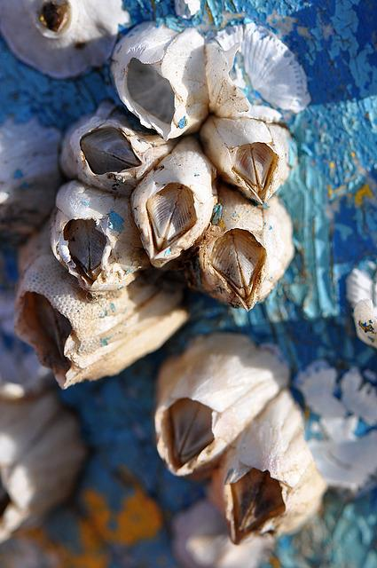 Barnacles, Macro, Blue, Aqua, Close-up, Cape Cod, Ocean