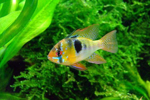 Butterfly Cichlid, Aquarium, Fish, Underwater, Fin, Red