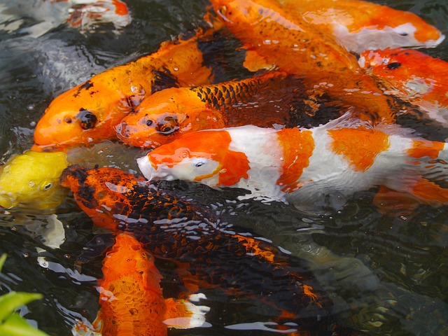 Aquarium Fish, Colored Carp, Koi, Fish, Breeding, Red