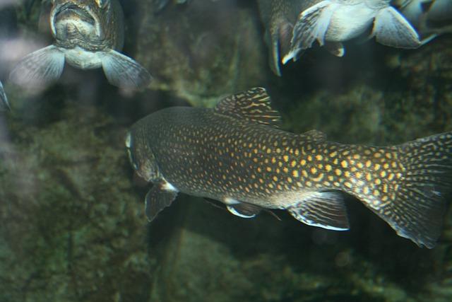 Trout, Fish, Aquarium, Seafood, Fresh, Marine, River