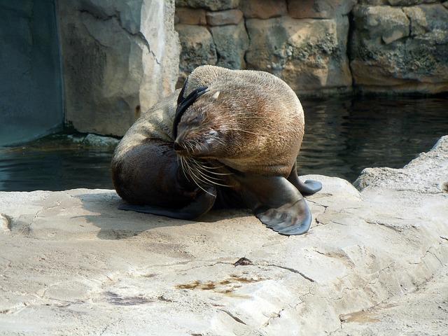 Fur Seal, Aquatic Animal, Body Care