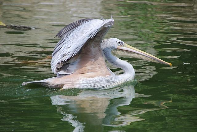 Pelican, Bird, Lake, Water Bird, Aquatic Bird, Animal