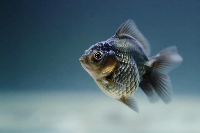 Fish, Carassius, Veiltail, Fins, Scales, Aquatic