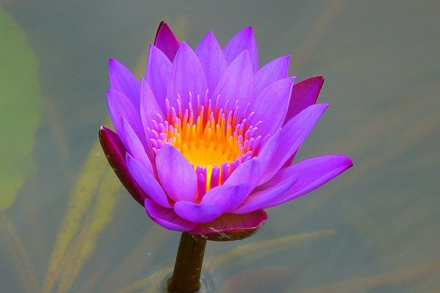Water Lily, Aquatic Plant, Nature, Blossom, Bloom