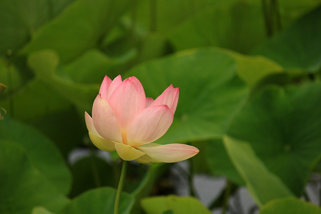 Water Lily, Aquatic Plant, Nature, Nuphar, Blossom