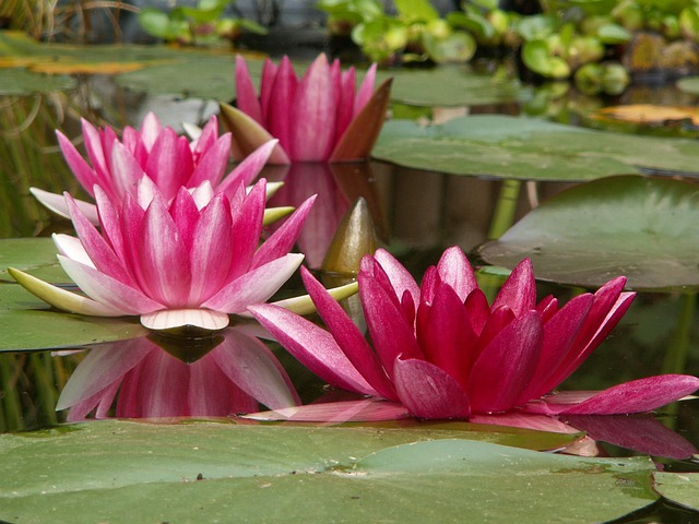 Aquatic Plant, Nature, Nuphar, Water Lily, Pools