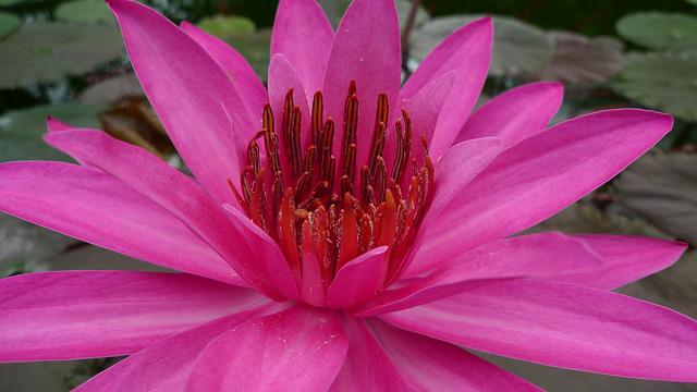 Flower, Water Lily, Aquatic Plant, Pink Water Lily