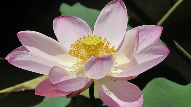 Lotus, Flowers, Water Lily, Aquatic Plant