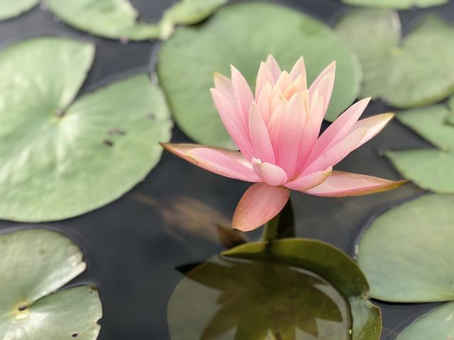 Lotus, Pond, Lily, Aquatic Plants