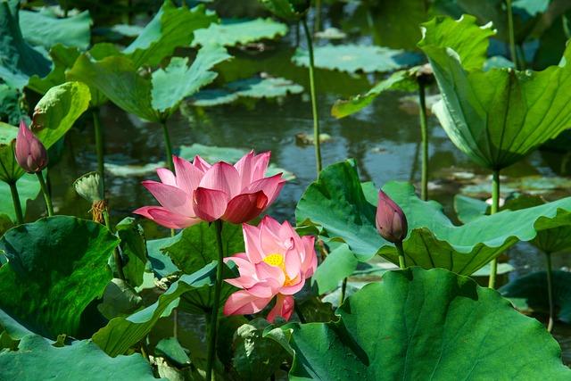 Lotus Leaf, Lotus, Summer, Aquatic Plants, Pond