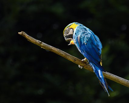 Parrot, Ara, Blue, Bird, Branch