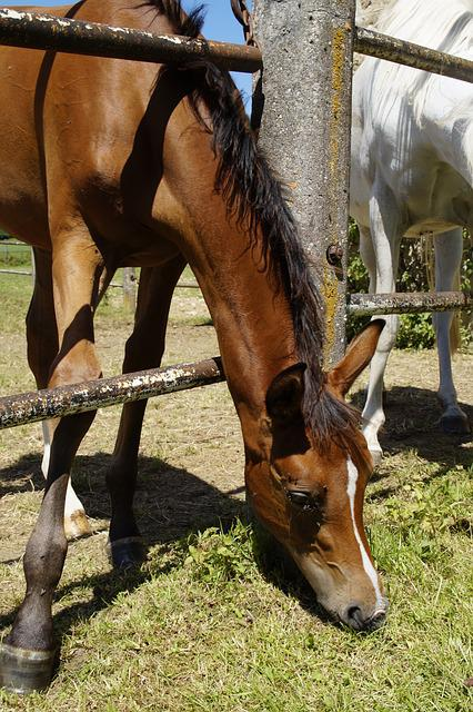 Foal, Arab Foal, Coupling, Pasture, Fence, Eat, Child