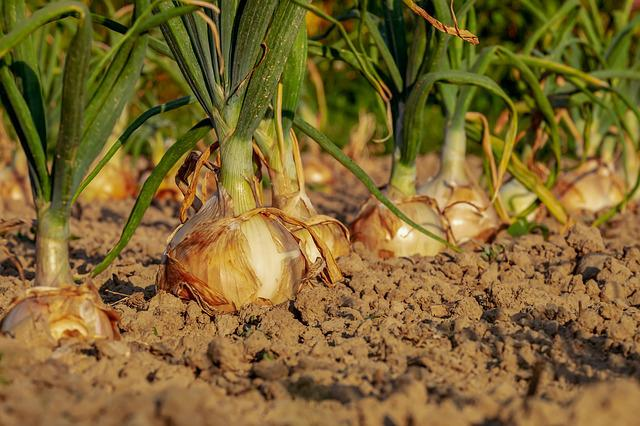 Onion, Arable, Field, Onion Field, Leek